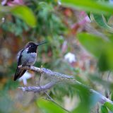 Colorful Male Anna Hummingbird Attracting Its Mate. Tiny male Anna`s Hummingbird sitting on a branch showing off his beautiful colors to his mate with royalty free stock image
