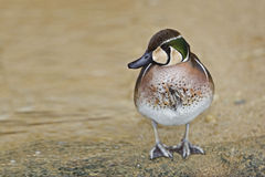 Colorful male Baikal Teal, Anas formosa Stock Photo