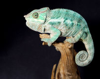 Colorful male chameleon stock photo