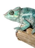 Colorful male chameleon Royalty Free Stock Images