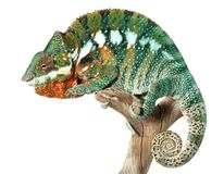 Colorful male chameleon Stock Photos