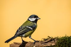 Colorful male great-tit sit on dry twig covered by moss Royalty Free Stock Photos