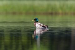 Colorful male mallard duck anas platyrhynchos in deep green wa. Ter in sunlight Royalty Free Stock Image