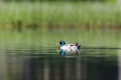 Colorful male mallard duck anas platyrhynchos in deep green wa. Ter in sunlight Stock Photography