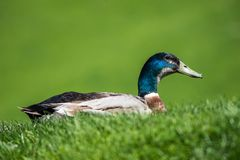Male mallard duck in the meadow Royalty Free Stock Images