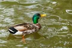 A colorful male mallard is swimming in a pond. A colorful male mallard is swimming in a pond in Gothenburg, Sweden Stock Photography