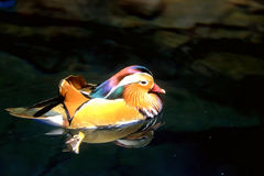 Colorful Male Mandarin Duck Royalty Free Stock Photography