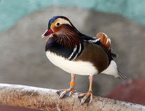 Colorful male mandarin duck Aix galericulata. Closeup Royalty Free Stock Images