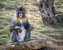 Colorful male mandrill monkey. Sitting on a rock looking straight in camera royalty free stock photo