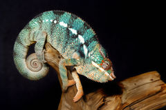 Colorful male panthera chameleon Stock Image