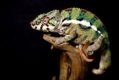 Colorful male panthera chameleon Royalty Free Stock Photo