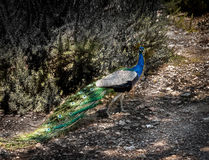 Colorful male peacock Royalty Free Stock Photography