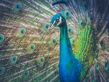 Colorful male peacock displaying his feathers Stock Images