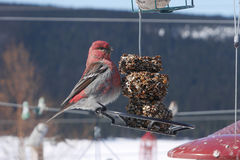 Colorful male pine grosbeak on feeder Stock Photos