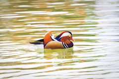 Colorful male winged teal duck swimming Stock Image