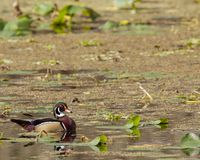 Colorful male wood duck royalty free stock images