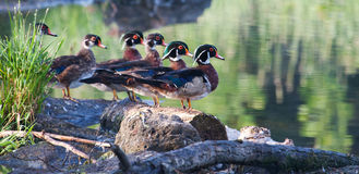 Colorful male Wood Duck, standing. On a log Royalty Free Stock Photo