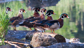 Colorful male Wood Duck, standing. On a log Stock Images