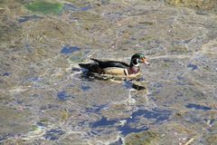 A colorful male wood duck swimming in a stream. Covered with algae and scum Royalty Free Stock Image