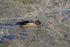 A colorful male wood duck swimming in a stream. Covered with algae and scum Royalty Free Stock Photos