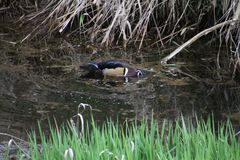 A colorful male wood duck swimming in a stream. With grass in the foreground and dead straw in the background Royalty Free Stock Photography
