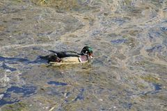 A colorful male wood duck swimming in a stream. Covered with algae and scum Stock Photos