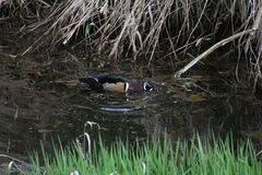 A colorful male wood duck swimming in a stream. With grass in the foreground and dead straw in the background Stock Image