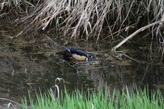 A colorful male wood duck swimming in a stream. With grass in the foreground and dead straw in the background Royalty Free Stock Photo