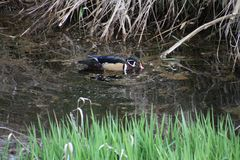 A colorful male wood duck swimming in a stream. With grass in the foreground and dead straw in the background Royalty Free Stock Image