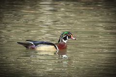 Colorful male wood duck in water. A male wood duck Aix Sponsa swims in Fernan Lake in north Idaho Stock Photography