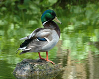Colorful Mallard Duck Stock Photo