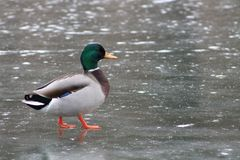 Mallard duck walking on icy lake stock photos