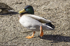 Colorful mallard duck walking and raising a webbed foot while on Stock Photo