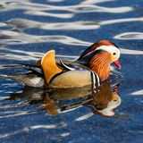Colorful mandarin duck aix galericulata in water royalty free stock photography