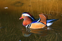 Colorful Mandarin Duck Stock Images