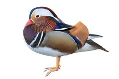 Colorful male mandarin duck isolated on white background royalty free stock photography