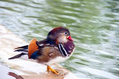 Colorful mandarin duck stands on the shore of the lake Stock Photo