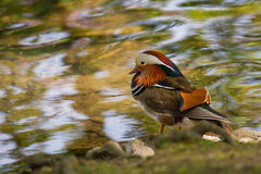 Colorful Mandarin Duck Stock Photo