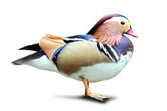 Colorful Mandarin duck standing isolated in white background Royalty Free Stock Image