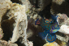 A colorful mandarin fish Royalty Free Stock Image