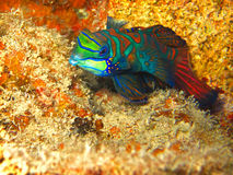 Colorful Mandarin Reef Fish Close Up Swimming Under Water in Ocean. A green, red, and blue mandarin reef fish swims in the ocean in Palau, Federated States of Stock Photo