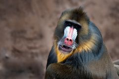 Colorful mandrill royalty free stock image