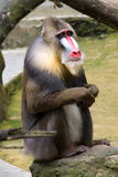 Colorful mandrill sitting on a rock Stock Photo