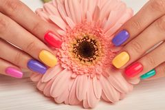 Colorful manicure and peach color gerbera. Well-groomed female hands with colorful summer manicure holding gentle gerbera flower. Nail treatment and spa stock image