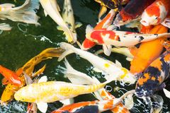 Colorful crap fish swimming together in the fish pond. Colorful many crap fish swimming together in the fish pond Royalty Free Stock Images