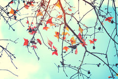 Colorful maple foliage tree in the autumn park, Royalty Free Stock Photos