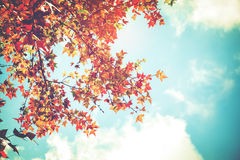 Colorful maple foliage tree in the autumn park, Royalty Free Stock Photography