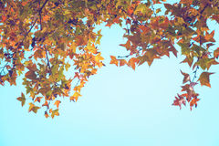 Colorful maple foliage tree in the autumn park, Royalty Free Stock Images