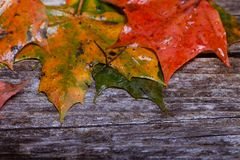Maple foliage on the able. Colorful maple foliage on the vintage wooden table stock images