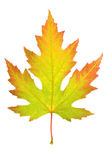Colorful maple leaf Royalty Free Stock Photo